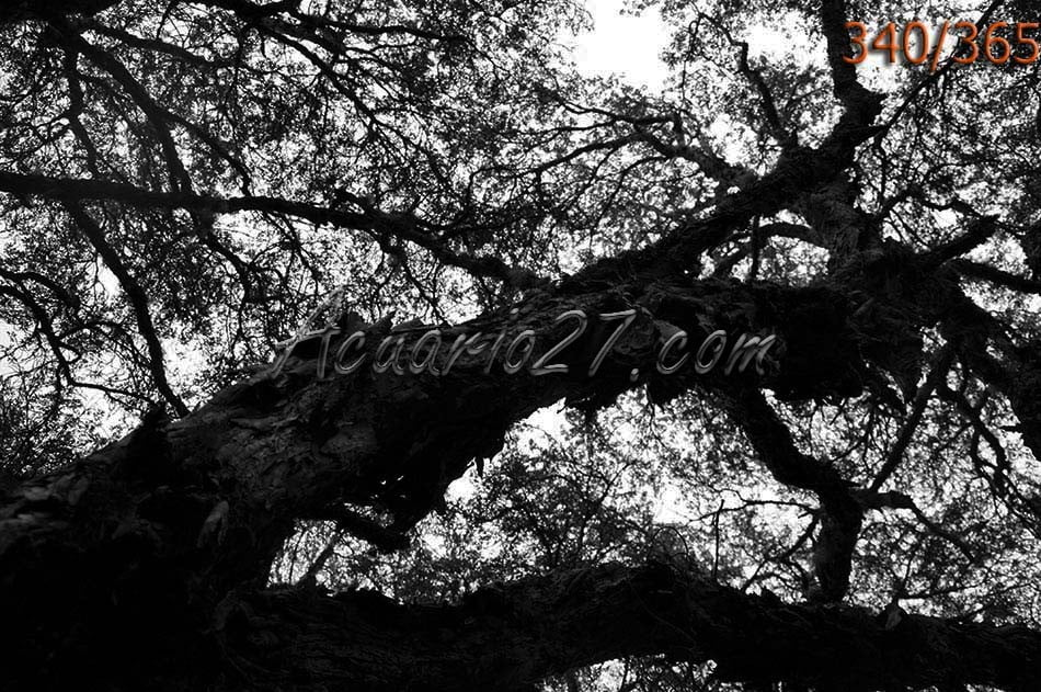 Corteza árbol polylepis