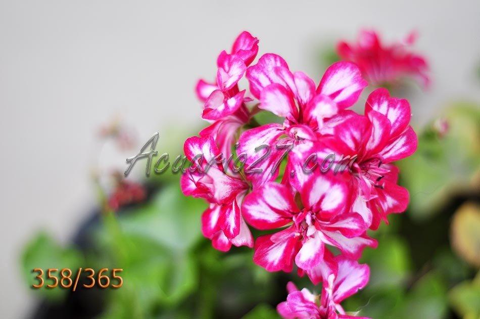 Flor de geranio.