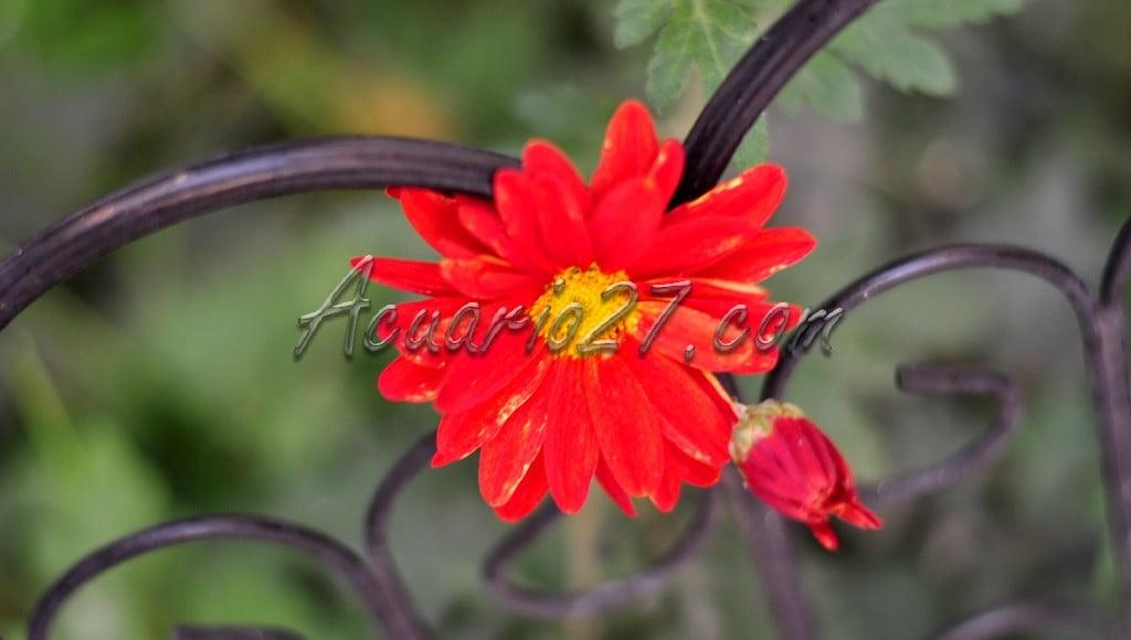 Flor del jardín, Acuario27
