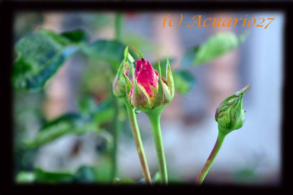 Rosas. Foto: Acuario27