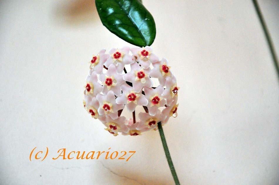 Flor de cera: Foto Acuario 27