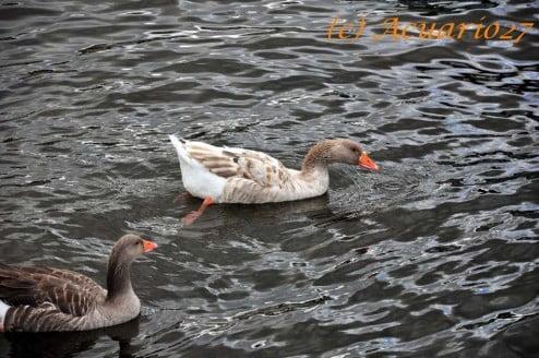 Patos en el Lago San Pablo: Foto Acuario27