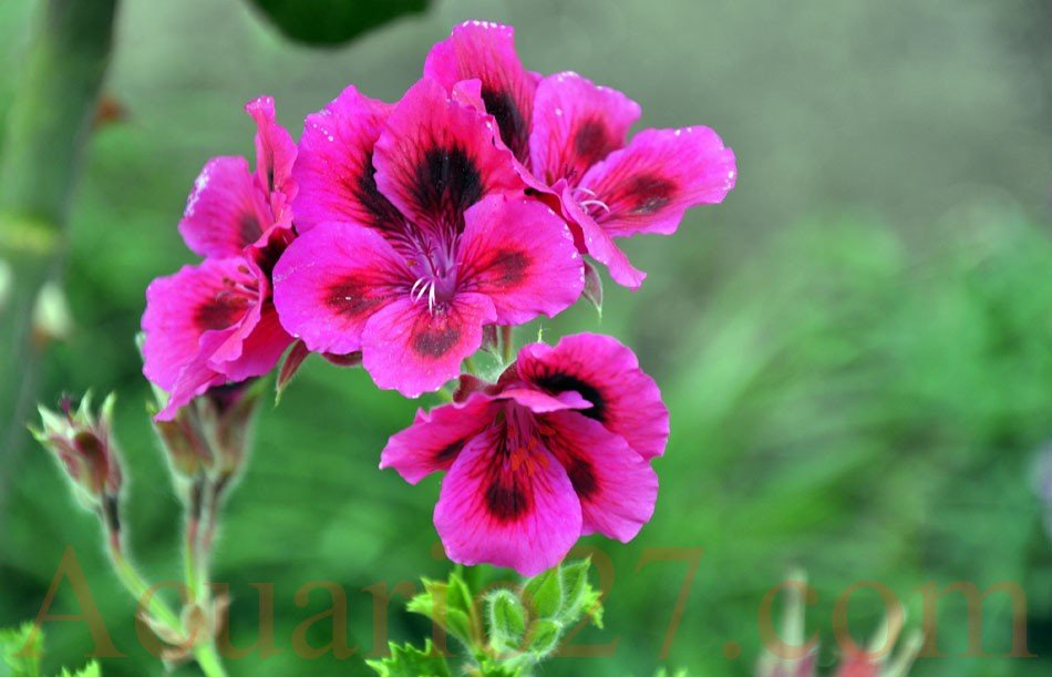 Flores.- Foto Acuario27